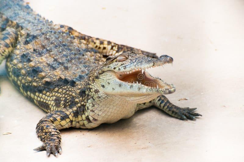 Caiman krokodyla obsiadanie na ziemi z otwartym usta obrazy stock