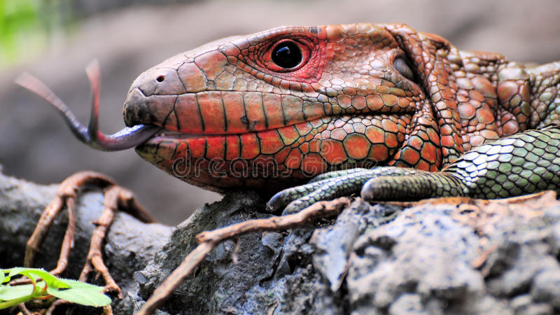 Caiman Lizard royalty free stock photo