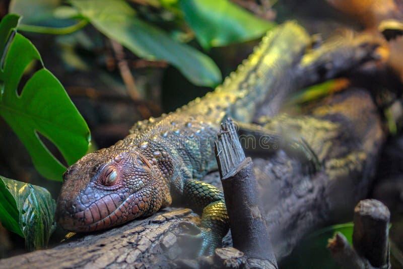 Caiman Lizard on a branch stock photo