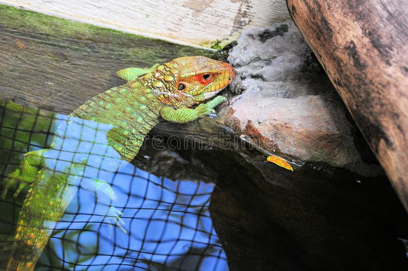 Caiman lizard in water royalty free stock photos