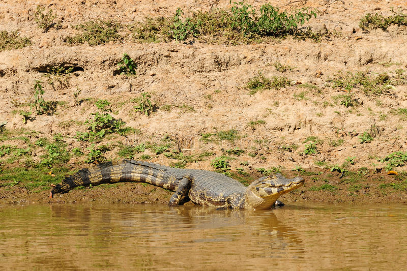 Caiman selvagem na área de Amazon em Bolívia fotos de stock
