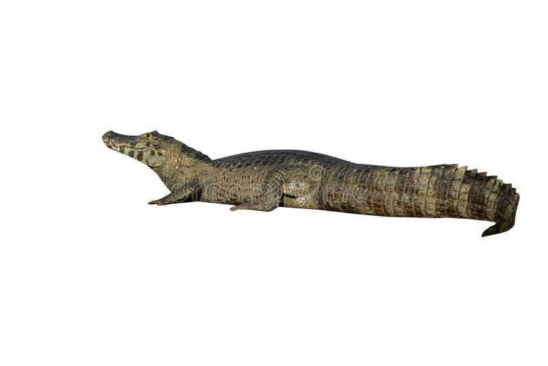 Caiman Spectacled, crocodilus do Caiman fotos de stock royalty free