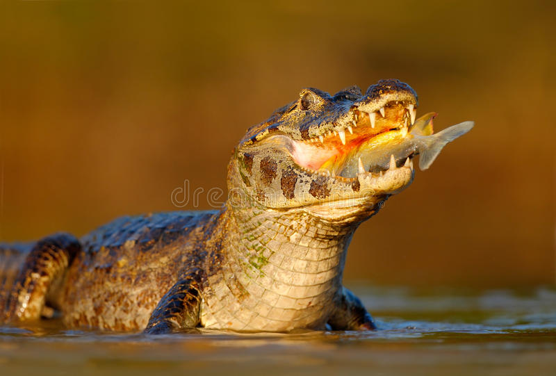 Caiman, Yacare Caiman, crocodile with fish in mouth with evening sun, in the river, Pantanal, Brazil. Willdlife royalty free stock images
