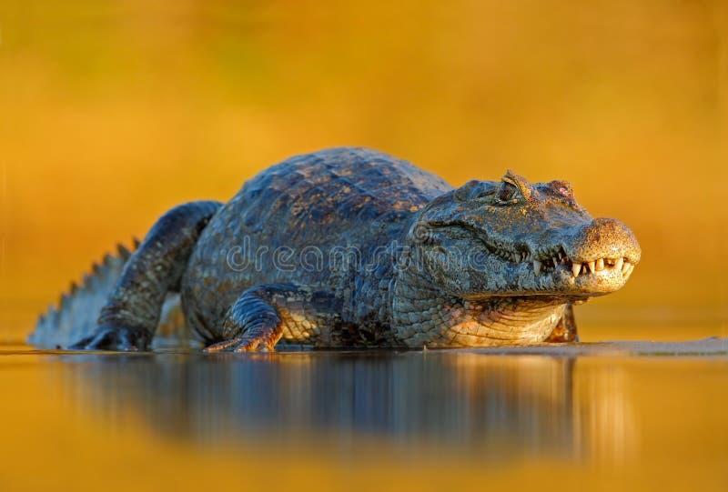 Caiman, Yacare Caiman, crocodile in the river surface, evening yellow sun, Pantanal, Brazil. Wildlife stock images