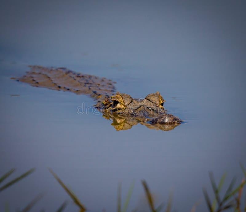 Caimano che galleggia sulla superficie dell'acqua in Pantanal, Brasile fotografia stock libera da diritti