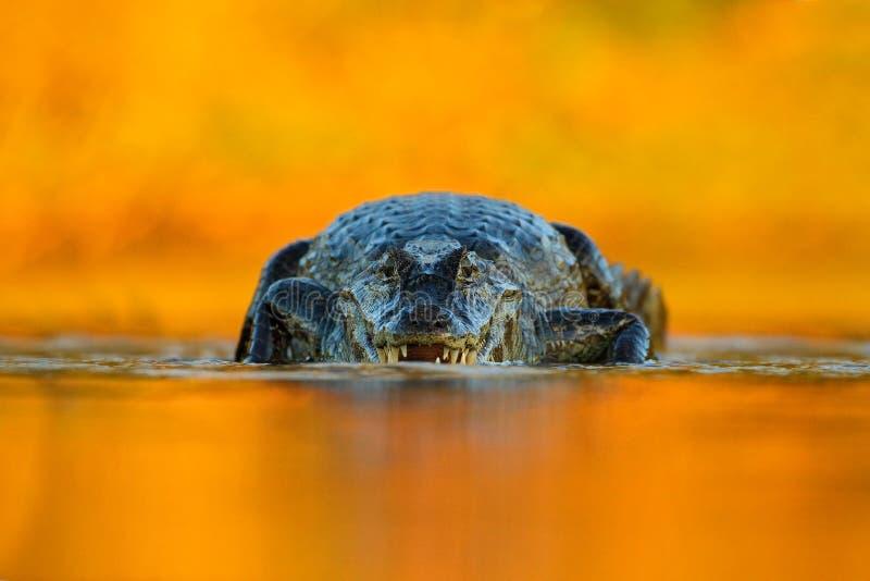 Caimano con uguagliare sole arancio, caimano di Yacare, coccodrillo nella superficie del fiume, animale nell'acqua, faccia a facc immagine stock libera da diritti