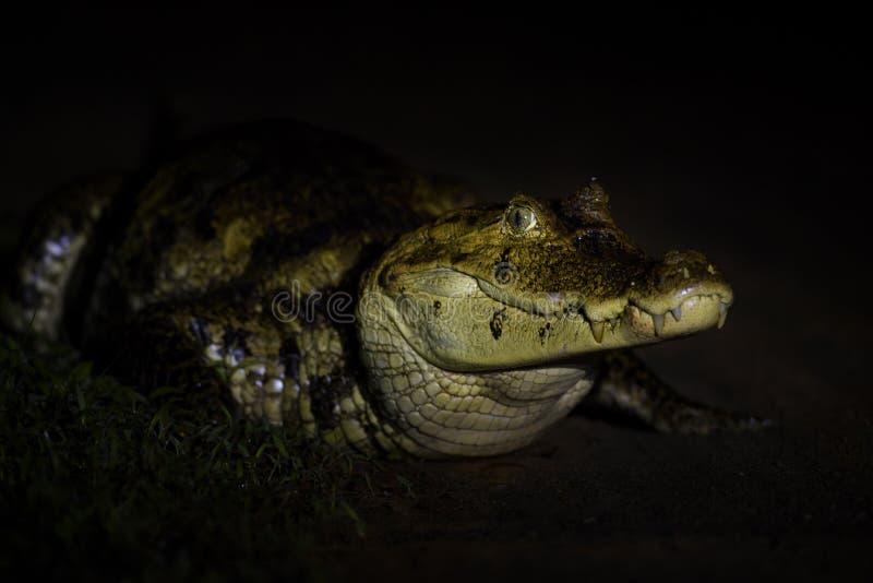 Caimano dagli occhiali - caiman crocodilus fotografie stock libere da diritti