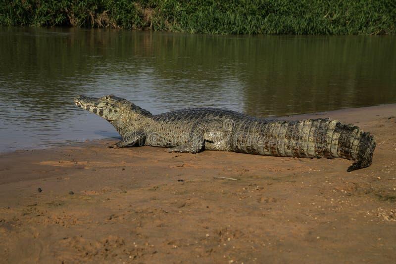Caimano dagli occhiali, caiman crocodilus immagine stock libera da diritti