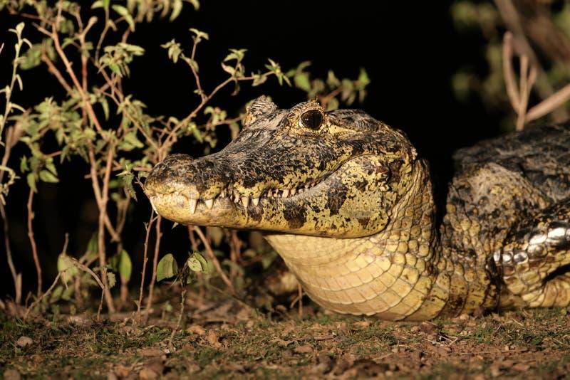 Caimano dagli occhiali, caiman crocodilus immagini stock libere da diritti