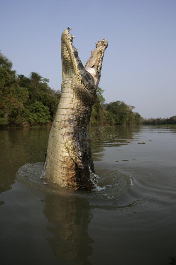 Caimano dagli occhiali, caiman crocodilus immagini stock
