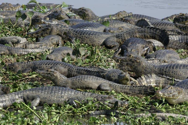 Caimano dagli occhiali, caiman crocodilus fotografie stock