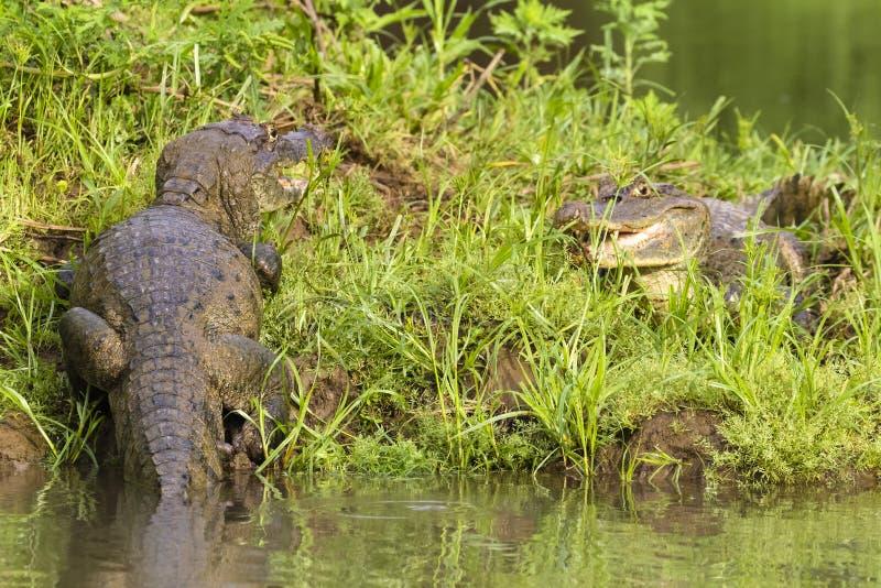 Caimano dagli occhiali - caiman crocodilus immagini stock libere da diritti