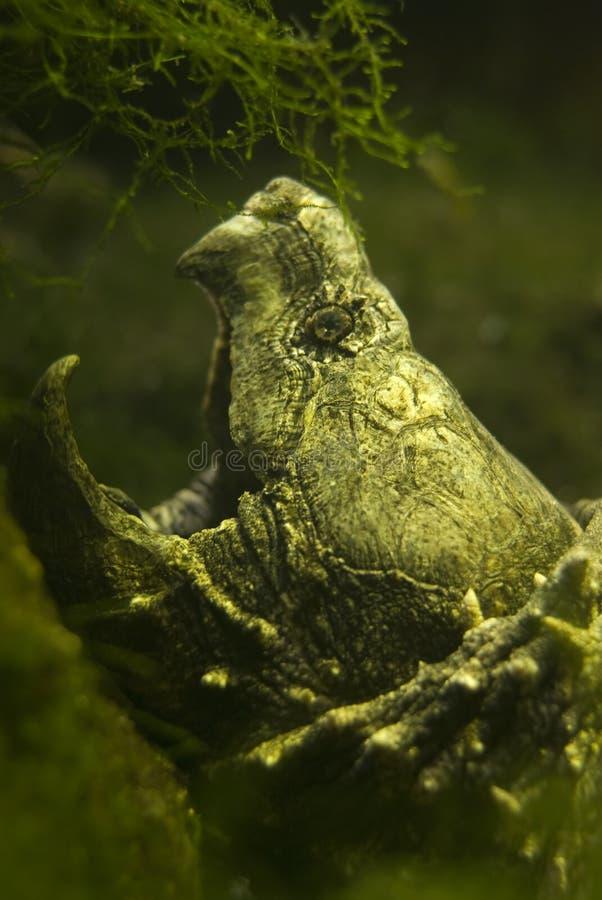 Caimano della tartaruga immagine stock