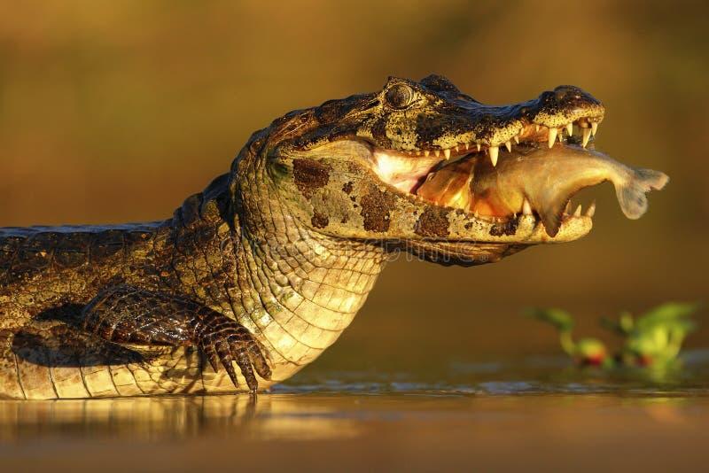 Caimano di Yacare, coccodrillo con il pesce dentro con il sole di sera, Pantanal, Brasile immagini stock libere da diritti