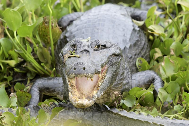 Caimano di Yacare con la bocca aperta fotografia stock