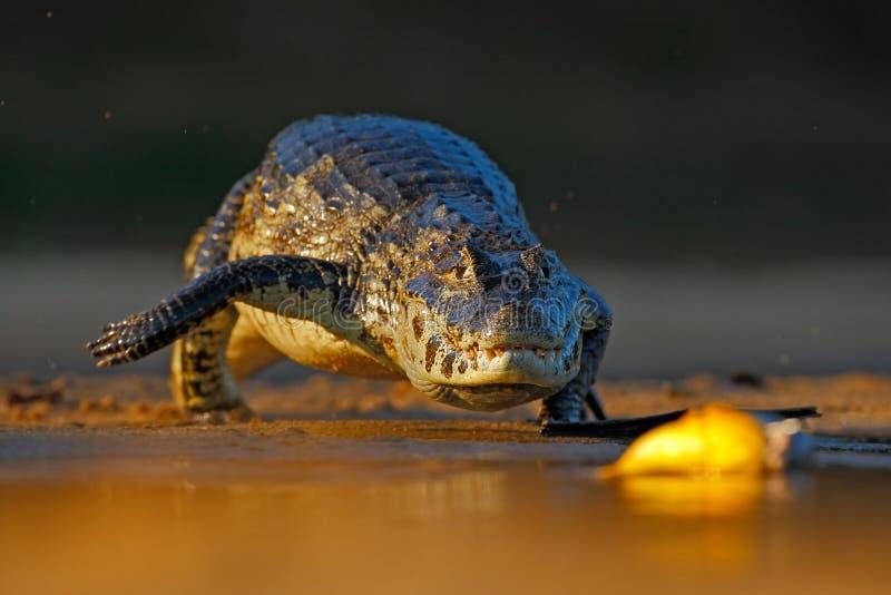 Caimano di Yacare, piranha del pesce di caccia del coccodrillo con il sole nel fiume, Pantanal, Bolivia di sera fotografia stock