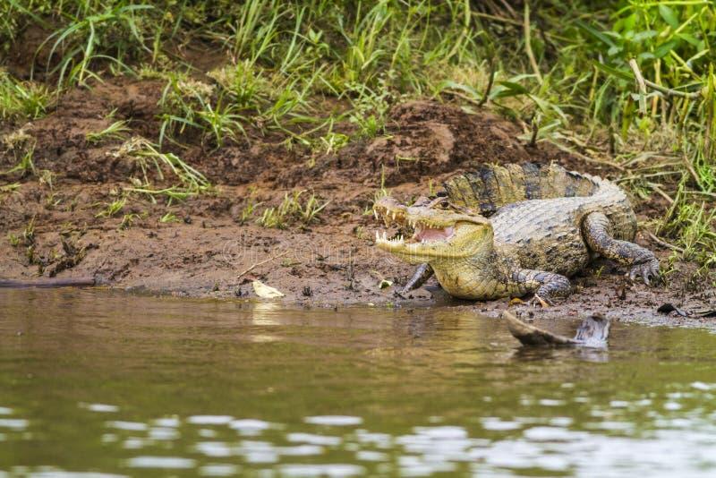 Caimano (fuscus del crocodilus del Caiman) immagine stock