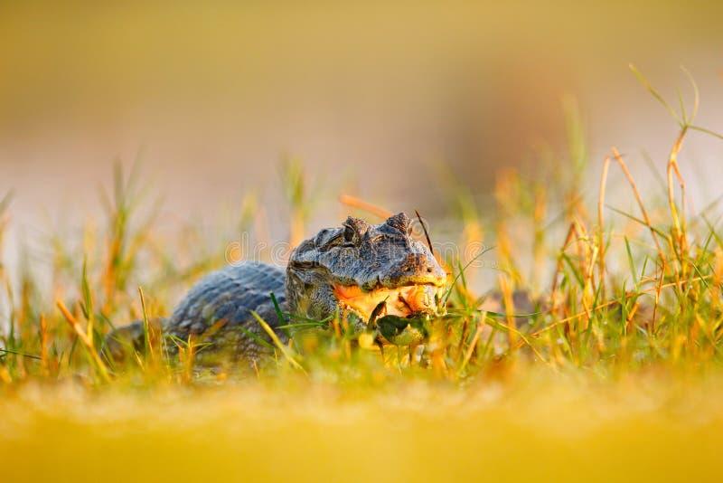 Caimano nascosto in erba Ritratto del caimano in piante acquatiche, coccodrillo di Yacare con la museruola aperta, Pantanal, Bras fotografia stock