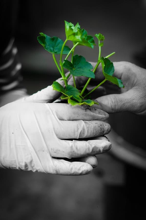 Cair que ginving a planta nova foto de stock royalty free