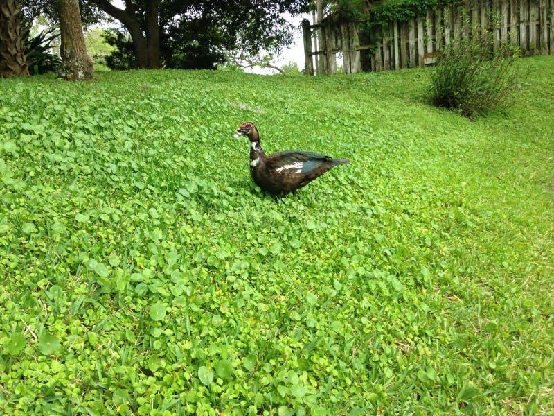 Cairina Moschata Ptasi odprowadzenie w trawie blisko stawu (Muscovy kaczka) zdjęcie stock