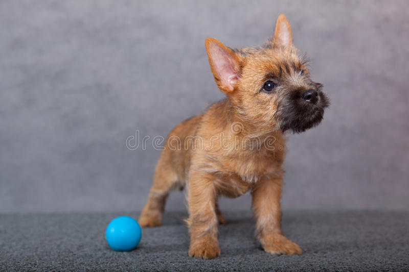 Cairn-chien terrier photographie stock
