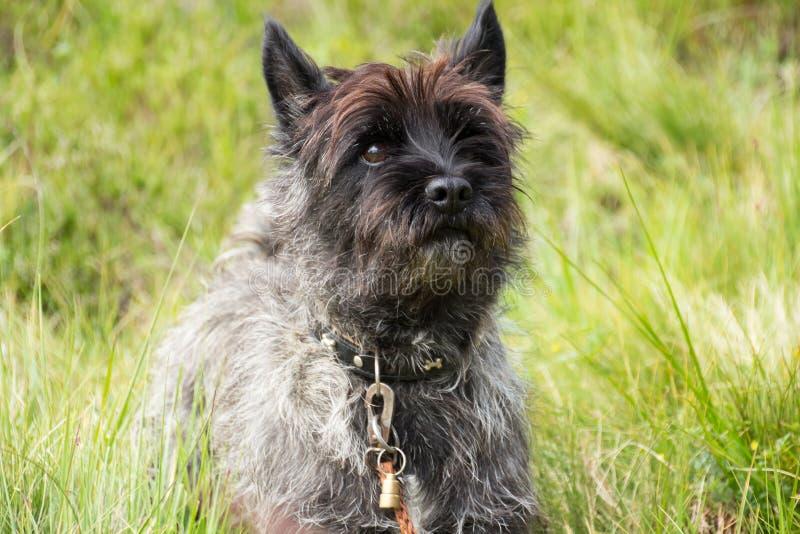 Cairn Terrier fotografie stock libere da diritti