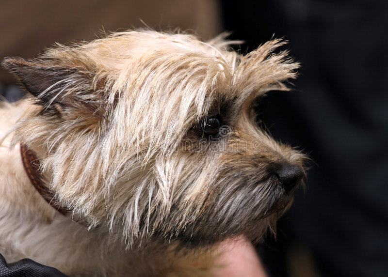 Cairn terrier royalty free stock photos