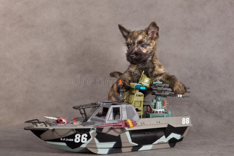 Download Cairn terrier dog stock image. Image of cairn, doggy - 25102053