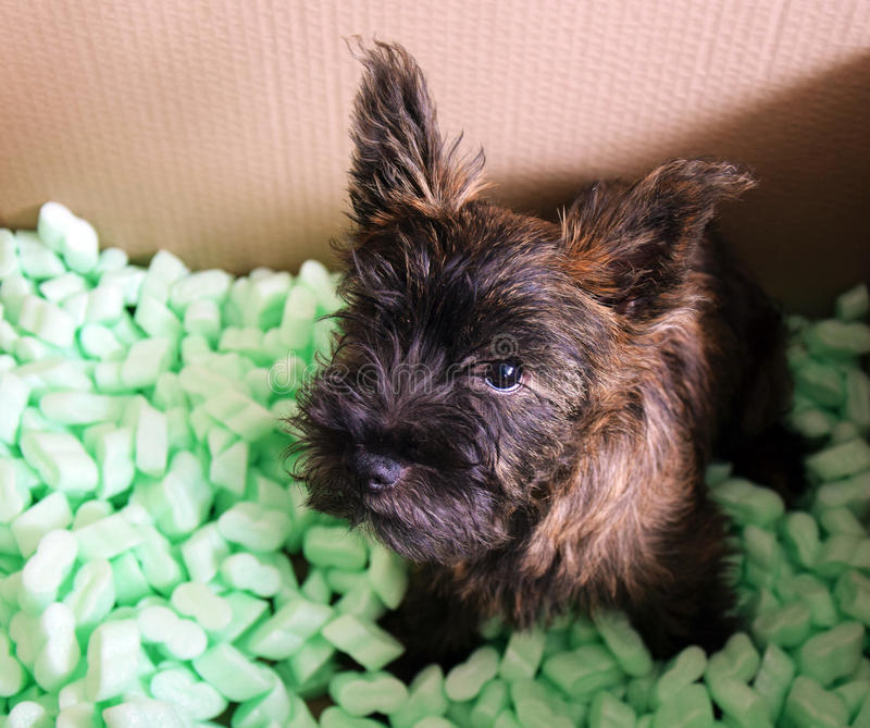 Cairn terrier dog stock photography