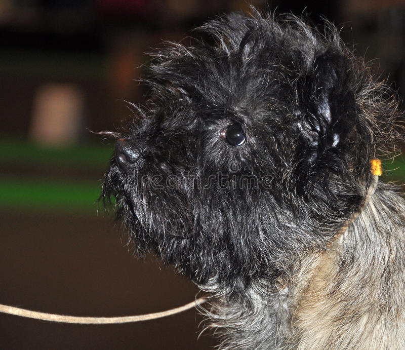 Download Cairn Terrier dog stock photo. Image of furry, care, earliest - 39513350