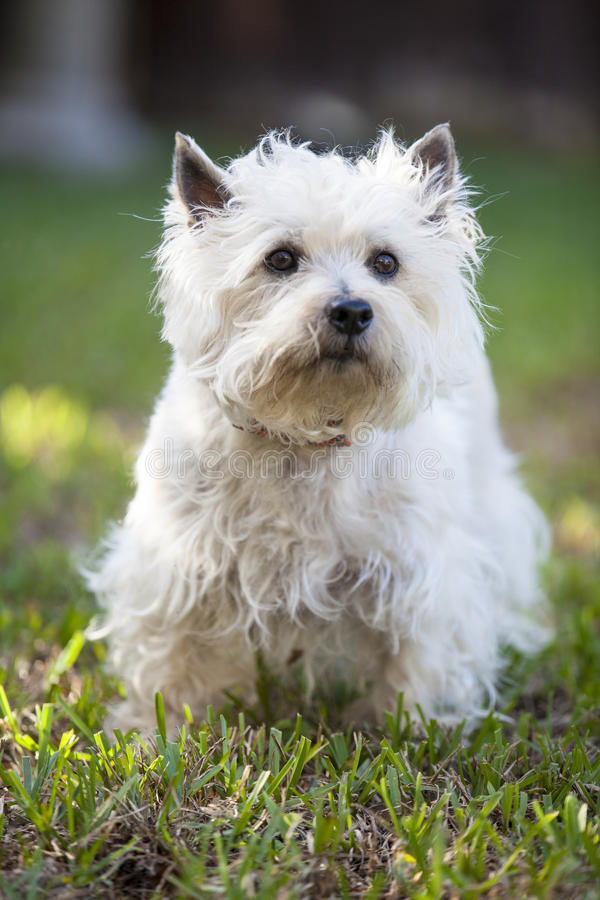 Cairn Terrier posing outdoors royalty free stock photo