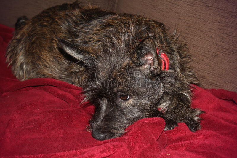 Cairn Terrier pup royalty free stock photos