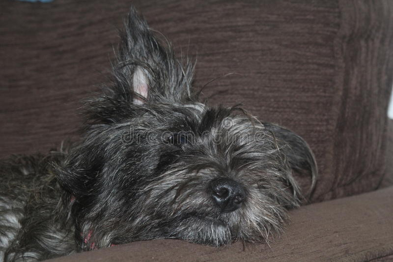 Cairn Terrier pup stock image