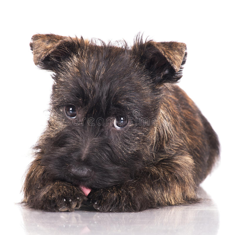 Cairn Terrier Puppy In A Bow Tie Stock Image - Image of isolated