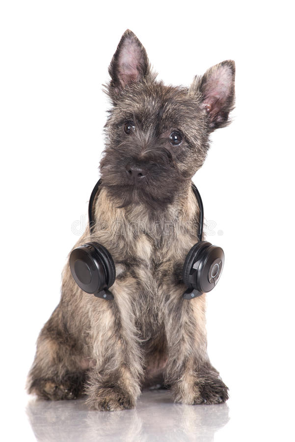 Adorable Cairn Terrier Puppy Stock Photo - Image of puppy, purebred