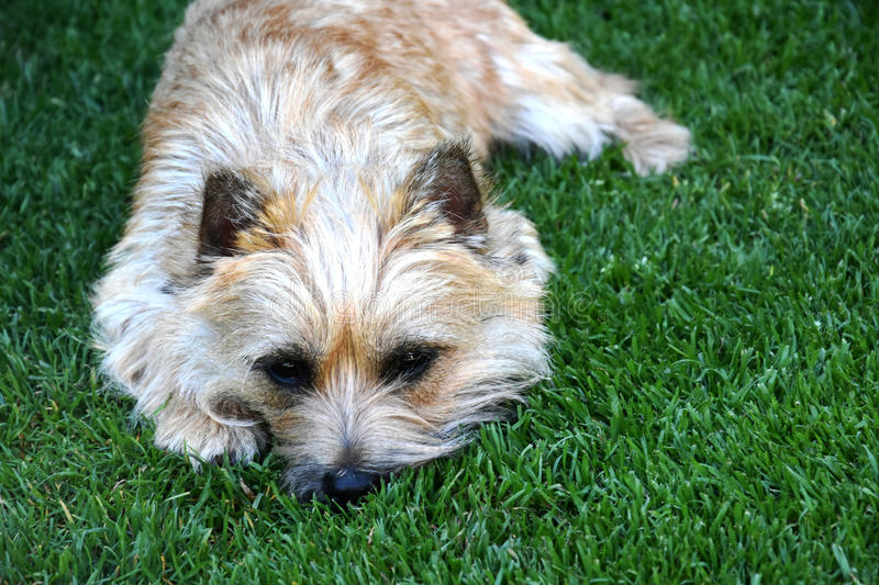 Cairn terrier puppy royalty free stock image