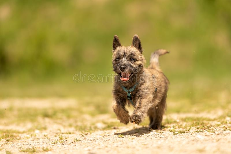 Cairn Terrier puppy 13 weeks old. Cute little dog runs. Over a meadow royalty free stock image