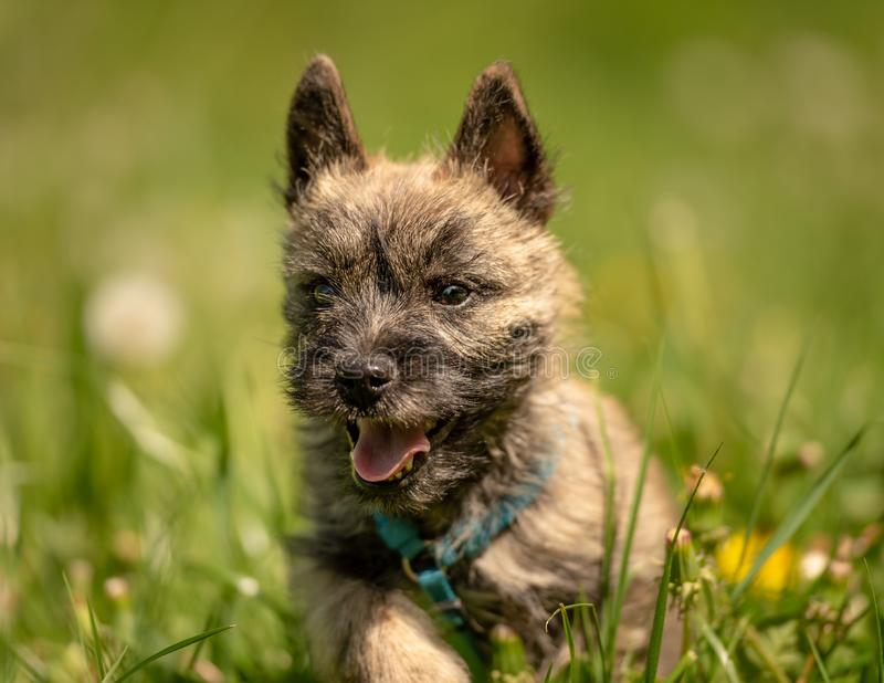 Cairn Terrier puppy 13 weeks old. Cute little dog runs. Over a meadow stock image
