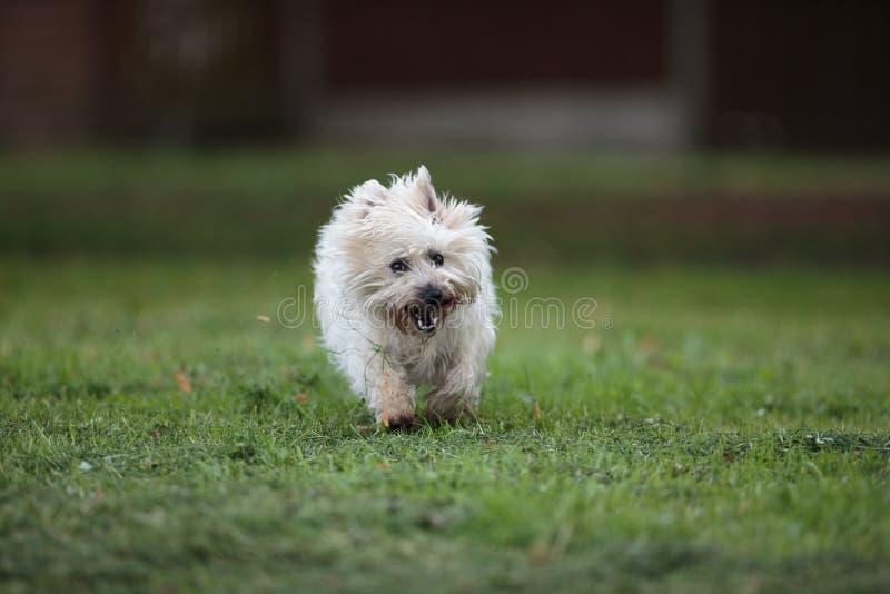 Cairn Terrier running in park stock photos