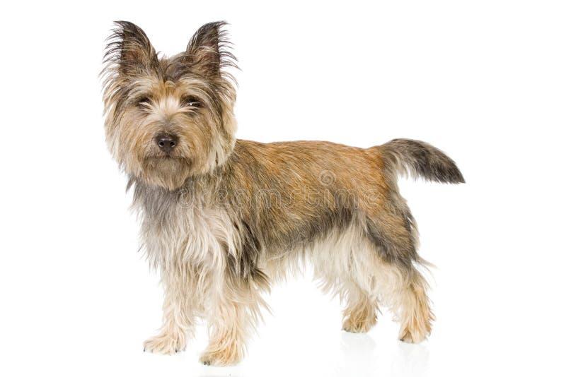 Cairn terrier standing up stock photos