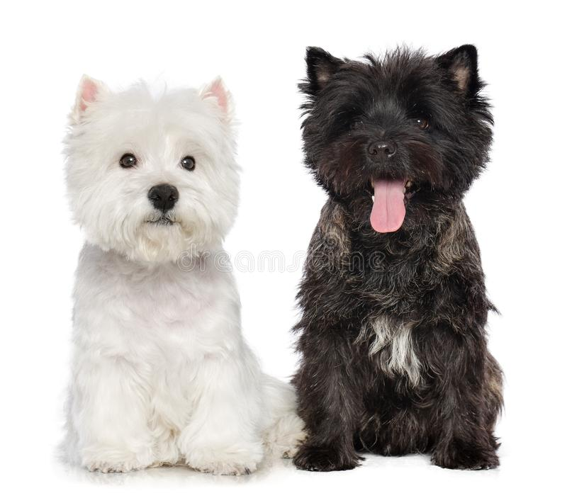 Cairn terrier, West highland white terrier dog on Isolated white Background stock photo