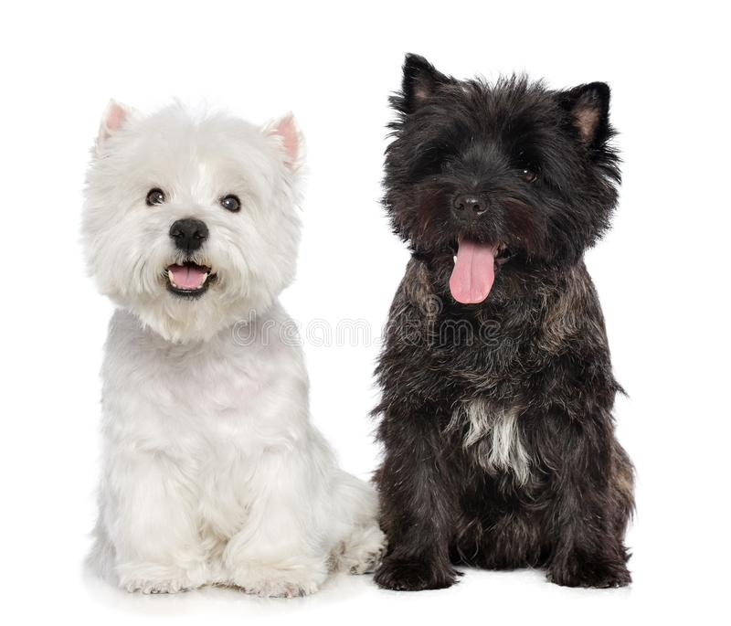 Cairn Terrier, West Highland White Terrier Dog On Isolated White