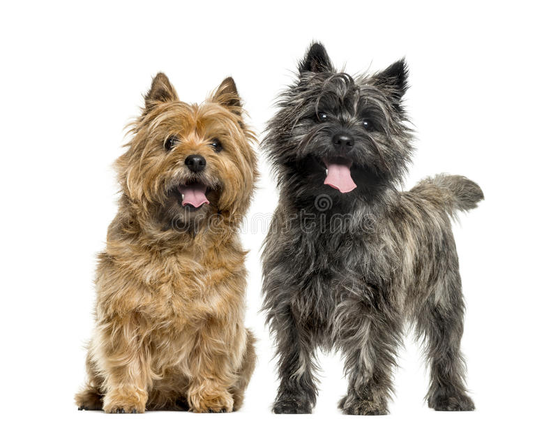 Cairn terriers. In front of white background royalty free stock photos