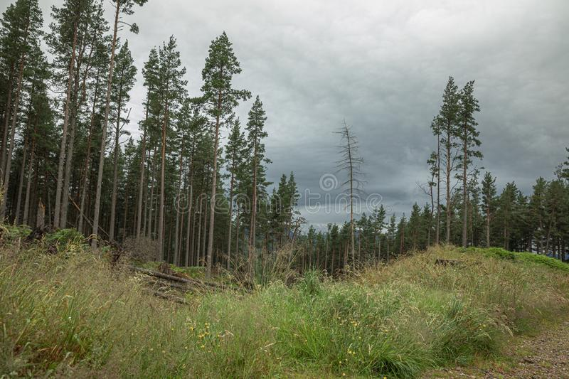 The Cairngorm mountain forest after rain in Scotland stock photo