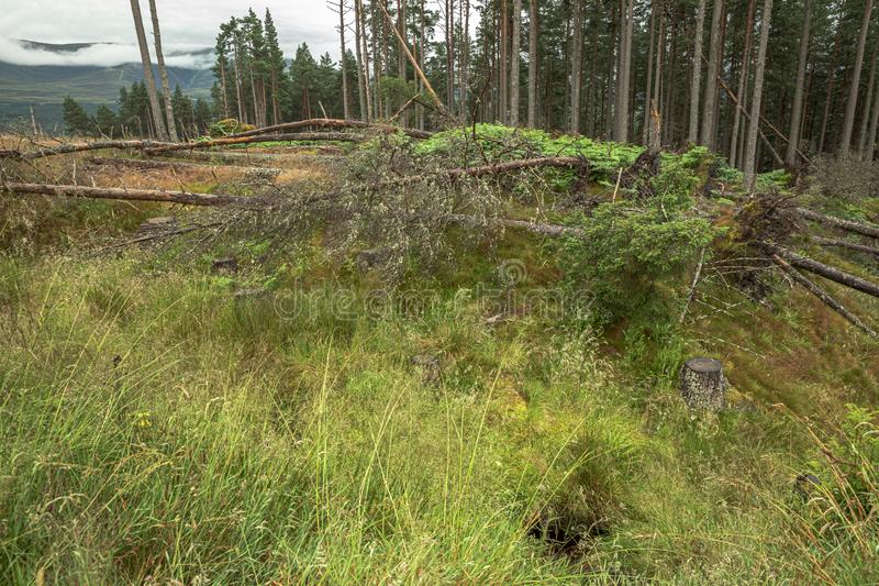 The Cairngorm mountain forest after rain in Scotland royalty free stock images