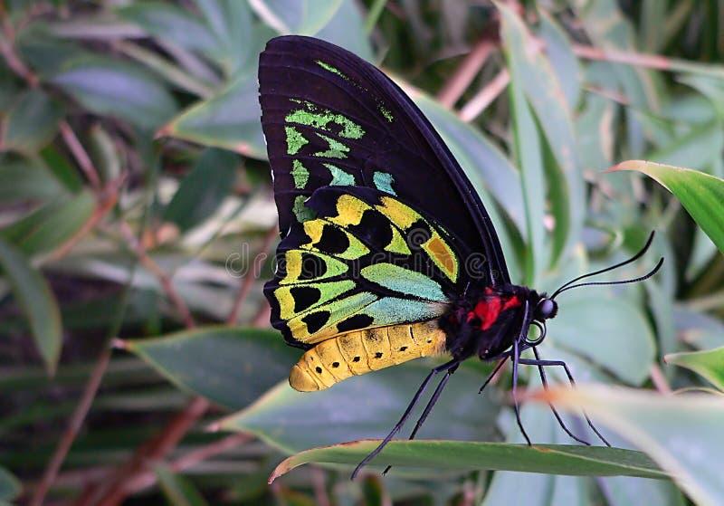 Cairns Birdwing Free Public Domain Cc0 Image