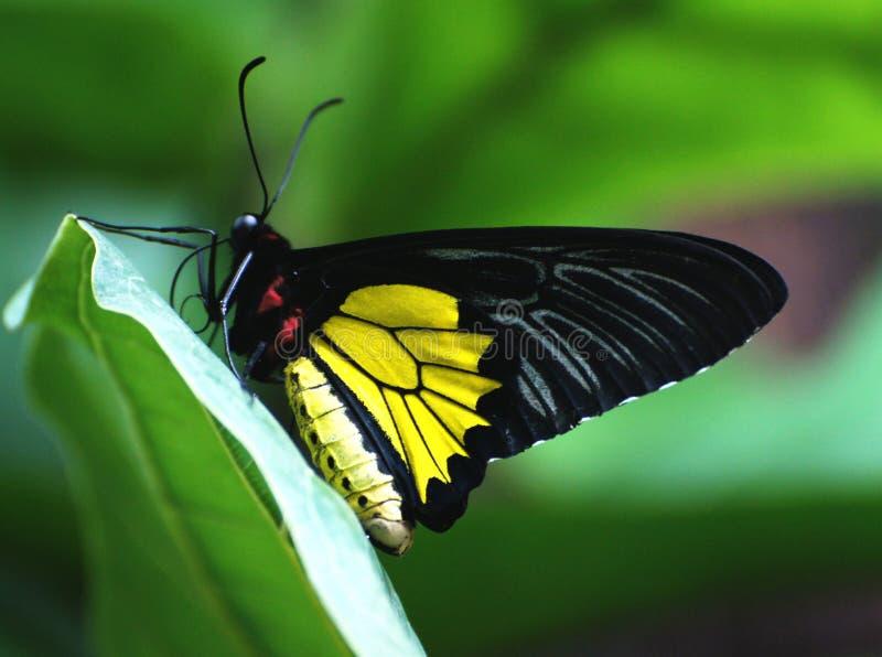 Cairns Birdwing stock photography