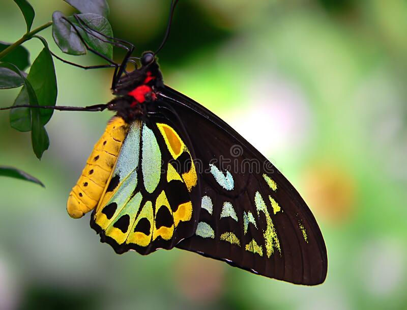 Cairns Birdwing 6 royalty free stock photo