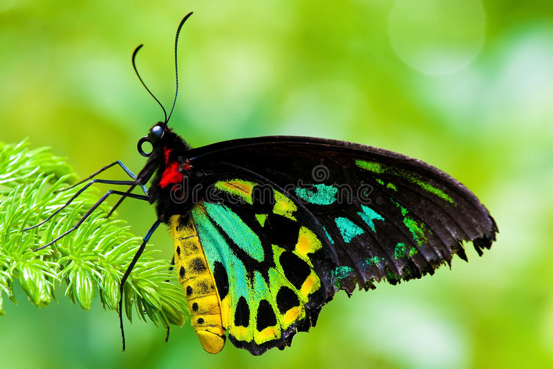 Cairns Birdwing Butterfly. Close up on a Cairns Birdwing Butterfly also known by Ornithoptera Priamus stock photos