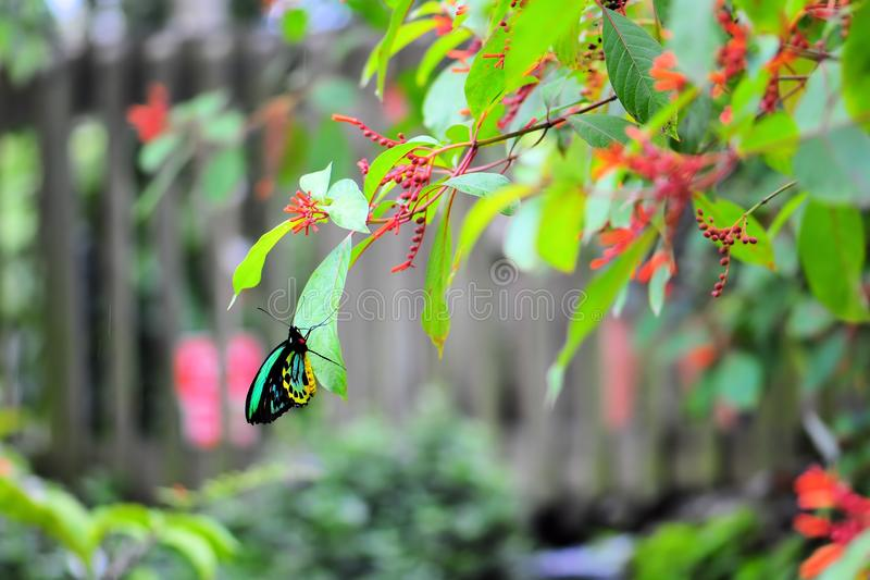 Cairns Birdwing Butterfly Royalty Free Stock Photography